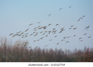 Flock of greylag geese flying over leafless trees in spring in Poland