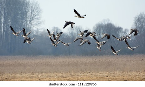 Flock of greylag geese flying over fields in spring - leafless trees in the background