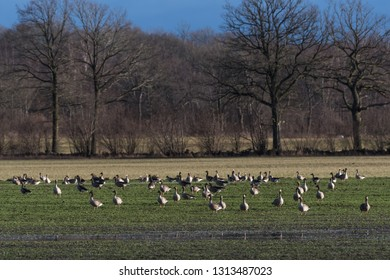 Flock with Greylag Geese grazing in a farmers green field