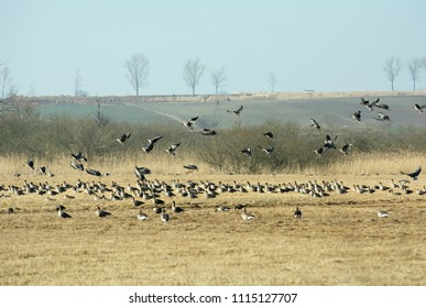 Flock of greylag geese resting on Polish fields on their way north in spring - some of them landing