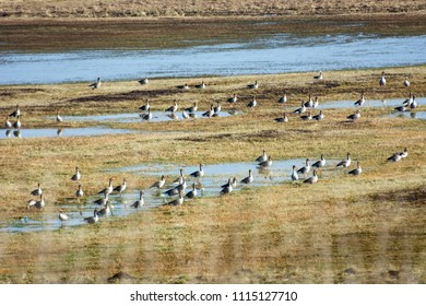 Flock of greylag geese resting on water covered fields on their way north in spring
