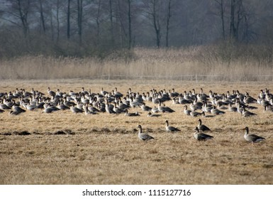 Flock of greylag geese resting on Polish fields on their way north in spring