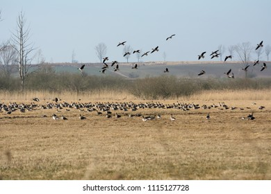 Flock of greylag geese resting on Polish fields on their way north in spring - leafless trees in the background