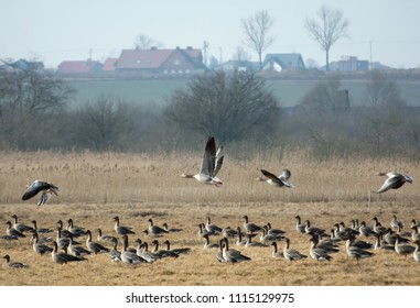 Flock of greylag geese stoping on Polish fields on their way north in spring - leafless trees and farmhouses in the background
