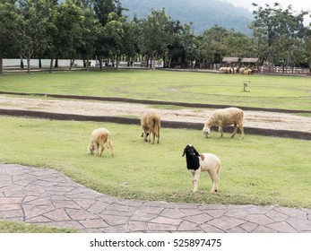Flock or Group of sheep in Farm or Grass Fields