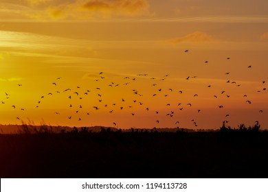 Flock of gulls birds travel across the sunset in Norfolk, UK