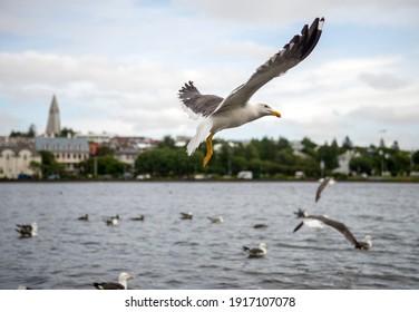 a flock of gulls in Reykjavik. Iceland