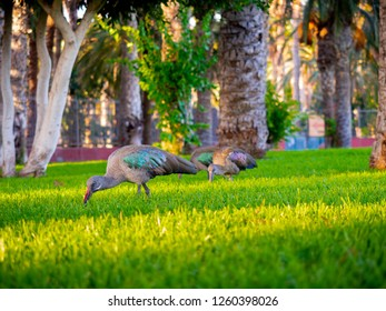 Flock of Hadada Ibises feeding in the park before the sunset.