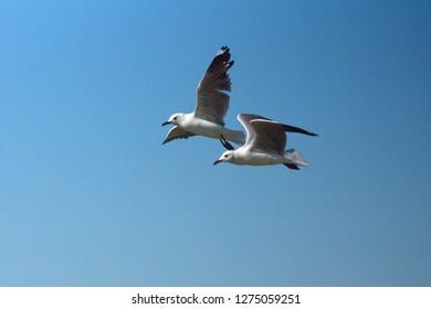 Flock of Hartlaub's gulls (Chroicocephalus hartlaubii) in flight in Kleinbaai, near Gansbaai, South Africa