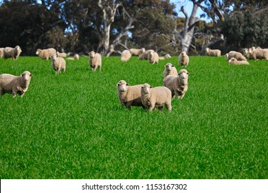 Flock herd of South Australian Sheep grazing and roaming green grassy meadow, South Australia