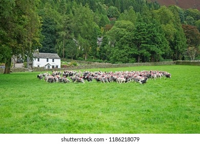 A flock of Herdwick Sheep rounded up by a working Border Collie sheep dog and herded into a Farm to be dipped for the removal of parasites from their wool, Grasmere, The Lake District, Cumbria, UK