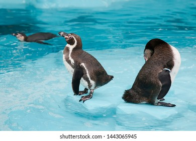 flock of Humboldt's penguins into the water.