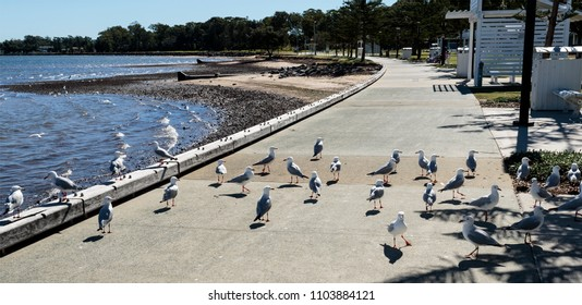Flock of hungry seagulls waiting for some food to be thrown by people seating nearby, in Woody Point, Queensland, Australia