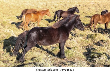 Flock of Icelandic horses on a grass field