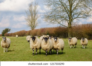 A flock of inquisitive  sheep in late winter sunshine