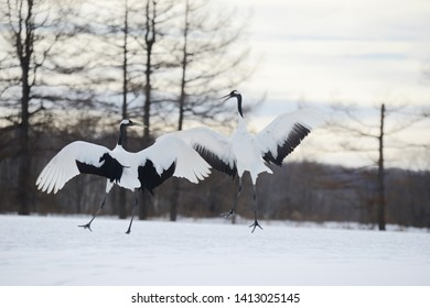 flock Japanese crane in Hokkaido