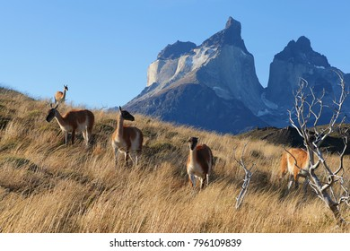 Flock of lama on flank of hill in Torres del Paine, Chile Patagonia