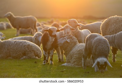 Flock of lamb and sheep grazing on a hill at sunset.