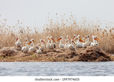 The flock of large Dalmatian pelicans wildlife nesting in the delta of the Volga River, near the Caspian Sea, Astrakhan, Russia.
