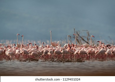 Flock of Lesser Flamingos and Greater Flamingos at Bogoria Lake