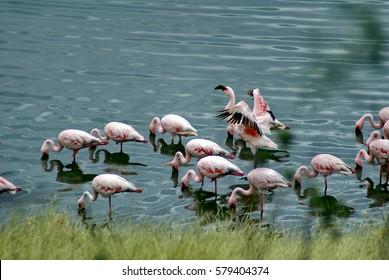 Flock of lesser flamingos (Phoeniconaias minor) on an alkali lake in Arusha National Park, Tanzania