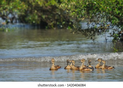 flock of lesser whistling duck (Dendrocygna javanica) also known as Indian whistling duck or lesser whistling teal floating on creek water.