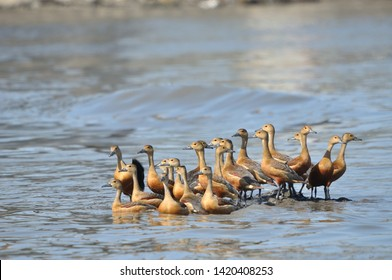 flock of lesser whistling duck (Dendrocygna javanica) also known as Indian whistling duck or lesser whistling teal in standing between creek water.