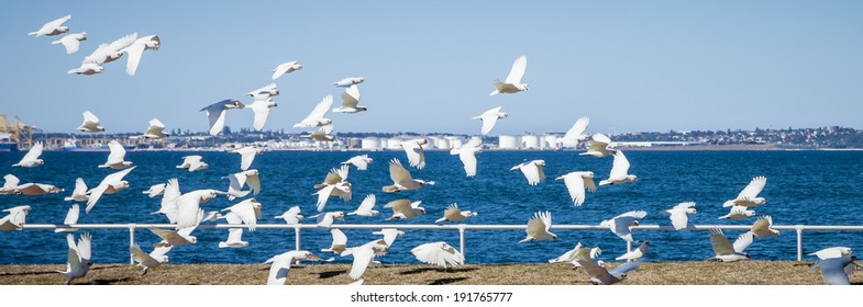 Flock of Little Corella (Cacatua sanguinea) birds flying over grass and white railing near the ocean water of Botany Bay, NSW, Australia