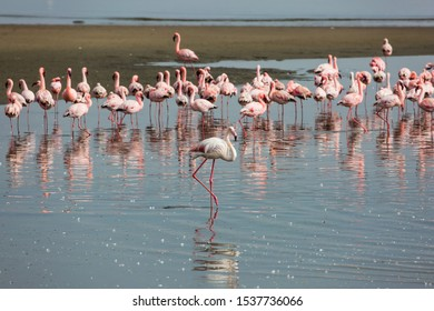 Flock of magnificent birds feed themselves in coastal silt. White and pink flamingos are picturesquely reflected in smooth water. Namibia. Sunrise. Ecological, active and photo tourism concept
