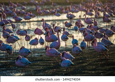Flock of magnificent white-pink flamingos feed themselves in coastal silt. Sunsut. Swakopmund. Africa. Atlantic coast of Namibia. Concept of eco-friendly, active, photo tourism and bird watching