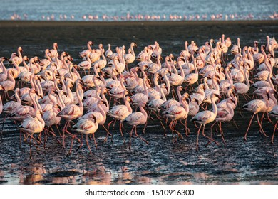 Flock of magnificent white-pink flamingos feed themselves in coastal silt. Sunsut. Africa. Atlantic coast of Namibia. Concept of eco-friendly, active, photo tourism and birdwatching