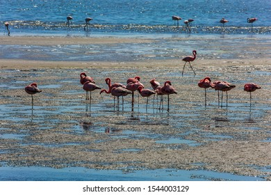 Flock of magnificent white-pink flamingos feed themselves in coastal silt. Sunrise. Swakopmund. Africa. Atlantic coast of Namibia. Concept of eco-friendly, active, photo tourism and bird watching