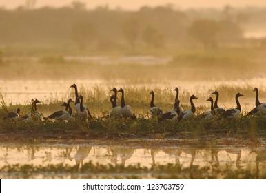 Flock of Magpie Geese (Anseranas semipalmata) in Kakadu National Park, Australia