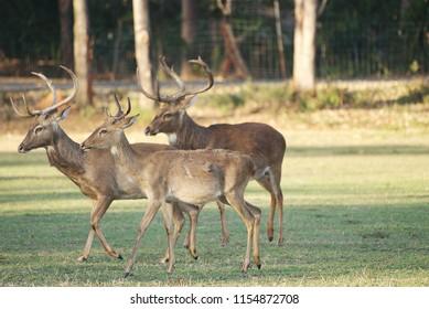 Flock of Male Eld's deer walking in open area at zoo