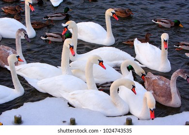 Flock of male and female Mallard Duck birds and Mute Swans on water during a winter period