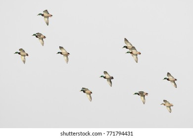 Flock of mallard duck drake males in flight locked up isolated on white