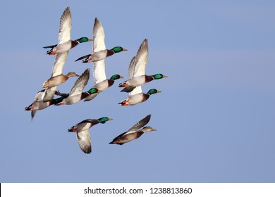 Flock of Mallard Ducks