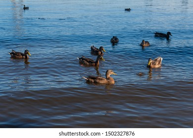 A flock of mallard ducks in the river with blue reflection. Beautiful birds waiting for food in the lake. Animals feeding on sunset.