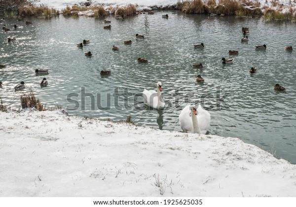 flock-mallard-ducks-white-swans-600w-192