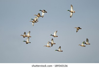 A flock of mallards wings through the sunlight on a foggy morning.