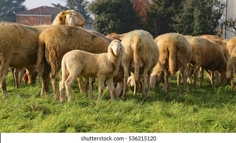 Flock with many sheep grazing in the meadow and a lamb