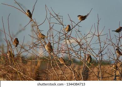 A flock of mazurkas in the sun, Passer montanus