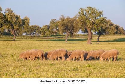 A flock of merina sheeps grazing free at Extremaduran dehesa, where this breed was originated, Badajoz, Spain