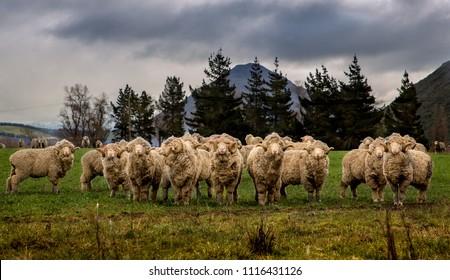 Flock of merino sheep in a field