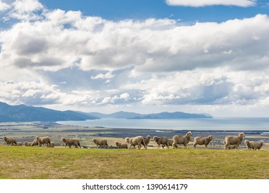 flock of merino sheep grazing on Wither Hills near Blenheim, New Zealand
