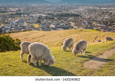 flock of merino sheep grazing on Wither Hills above Blenheim town in New Zealand