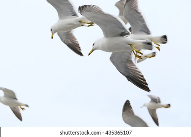 Flock of  Mew gulls