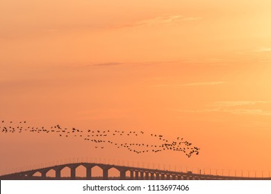 Flock with migrating Brants flying over the Oland bridge in sweden by sunset