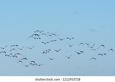 Flock with migrating Common Cranes, Grus Grus