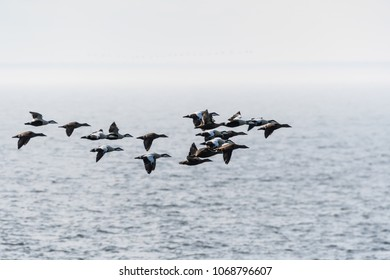 Flock with migrating Common Eiders, Somateria Molissima, flying in the Baltic Sea